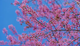 Valentine Day.Beautiful blooming pink flowers. Sakura Thailand.Valentine Day.Beautiful blooming pink flowers on a blue background Stock Photo