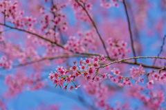 Valentine Day.Beautiful blooming pink flowers. Sakura Thailand.Valentine Day.Beautiful blooming pink flowers on a blue background Royalty Free Stock Photography
