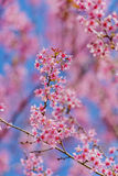Valentine Day.Beautiful blooming pink flowers. Sakura Thailand.Valentine Day.Beautiful blooming pink flowers on a blue background Royalty Free Stock Photo