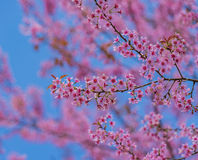 Valentine Day.Beautiful blooming pink flowers. Sakura Thailand.Valentine Day.Beautiful blooming pink flowers on a blue background Royalty Free Stock Image