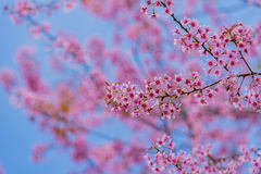 Valentine Day.Beautiful blooming pink flowers. Sakura Thailand.Valentine Day.Beautiful blooming pink flowers on a blue background Stock Images