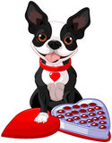 Valentine day Boston terrier Royalty Free Stock Image