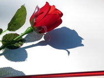 Valentine day card. Rose on white background Royalty Free Stock Photography