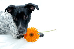 Dog with Flower Royalty Free Stock Image