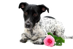 Dog with Rose Royalty Free Stock Photography