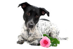 Dog with Rose Royalty Free Stock Image
