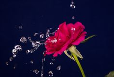 Valentine Day rose and water splash Royalty Free Stock Image