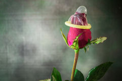 Valentine day red rose flower texture and background royalty free stock image