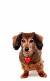 Valentine de Dachshund Photographie stock