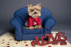 Valentine dog. Male Yorkshire terrier dog wearing a red sweater for Valentine's day Royalty Free Stock Photo