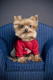 Valentine dog. Male Yorkshire terrier dog wearing a red sweater for Valentine's day Royalty Free Stock Images