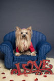 Valentine dog. Female Yorkshire terrier dog wearing a red sweater for Valentine's day Stock Photos