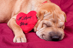 Valentine dog Stock Images