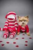 Valentine dog. Male Yorkshire terrier dog wearing a red sweater for Valentine's day Stock Image