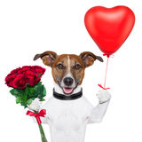 Valentine dog. With a bunch of  red  roses and a red balloon Royalty Free Stock Photo
