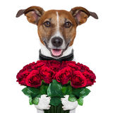Valentine dog. With a bouquet of  red  roses Stock Image