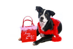Valentine Dog. Cute young Border Collie, Lab mix dog with Valentine attire on a white background Stock Photography