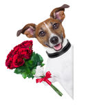 Valentine dog. With a bunch of  red  roses beside a blank banner Royalty Free Stock Photos