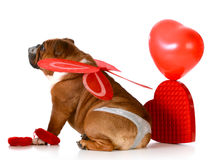 Valentine dog. Cute valentine bulldog wearing a thong and angel wings on white background Royalty Free Stock Images