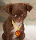 Valentine doggy. Valentine picture of a chihuahua puppy dog with an amber heart collar Stock Photography