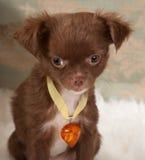 Valentine Doggy Stock Photography