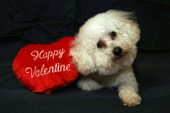 Valentine Dogs 1. Beau Danger a Bichon Frise sits with his Happy Valentine Valentines Day Stuffed red heart while on a dark blue background royalty free stock photo