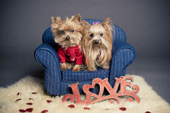 Valentine dogs. Yorkshire terrier dogs wearing a red sweater for Valentine's day stock photo