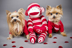 Valentine dogs. Yorkshire terrier dogs wearing a red sweater for Valentine's day Royalty Free Stock Photos