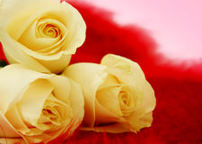 Valentine Flowers. Beautiful yellow roses against a red and pink background Royalty Free Stock Photography