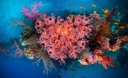 Valentine heart made of corals (Dendronephthya hemprichi) Royalty Free Stock Photo