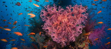 Valentine heart made of corals (Dendronephthya hemprichi) Royalty Free Stock Photography