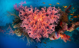 Valentine heart made of corals (Dendronephthya hemprichi) Royalty Free Stock Images