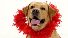 Valentine Labrador puppy dog and red glitter heart. Isolated on white stock video