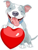Valentine Pit Bull Dog Royalty Free Stock Photos