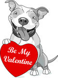 Valentine Pit Bull with Heart Stock Images
