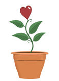 Valentine plant Royalty Free Stock Images