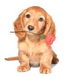 Valentine puppy. Miniature dachshund puppy with a rose Royalty Free Stock Photos