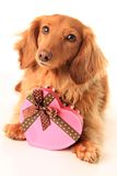 Valentine puppy royalty free stock photo