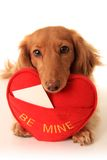 Valentine puppy Stock Photo