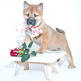 Valentine Puppy Stock Photography