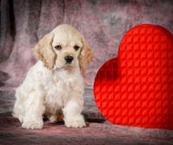 Valentine puppy. Cocker spaniel sitting beside a heart Royalty Free Stock Photo