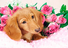 Valentine puppy Royalty Free Stock Image