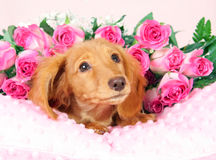 Valentine puppy Royalty Free Stock Images