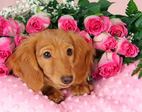 Valentine puppy. Dachshund puppy on a bed of roses Royalty Free Stock Photography