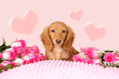 Valentine puppy. Dachshund puppy surrounded by roses and hearts for Valentine's day Royalty Free Stock Photography