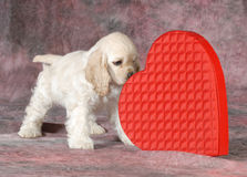 Valentine puppy. Cocker spaniel sniffing red heard on pink tone background - 9 weeks old Stock Photography