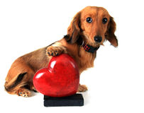 Valentine puppy Stock Images