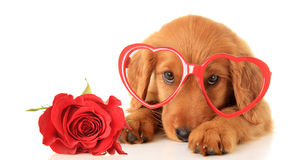 Valentine puppy. Irish Setter puppy wearing Valentine glasses next to a red rose Stock Image
