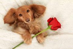 Valentine puppy Stock Photo