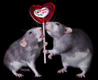 Valentine Rats Royalty Free Stock Image